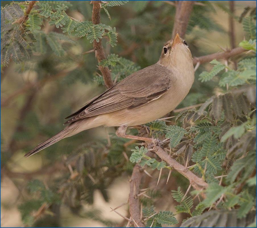 Upcher's WarblerHippolais languida