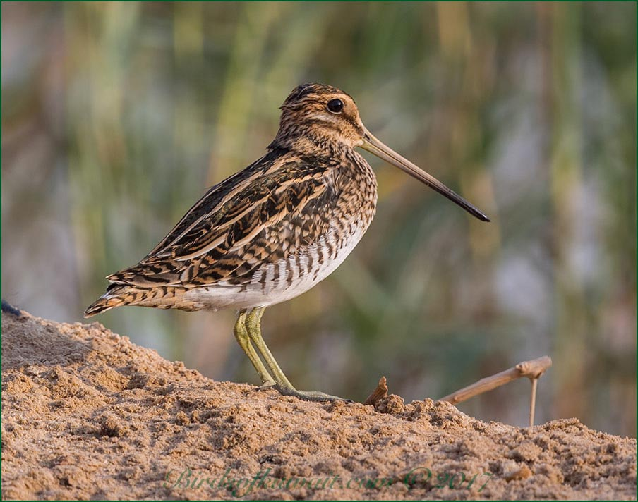 Common Snipe Gallinago gallinago