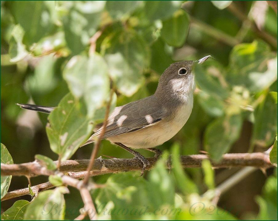 Menetries's Warbler Sylvia mystacea