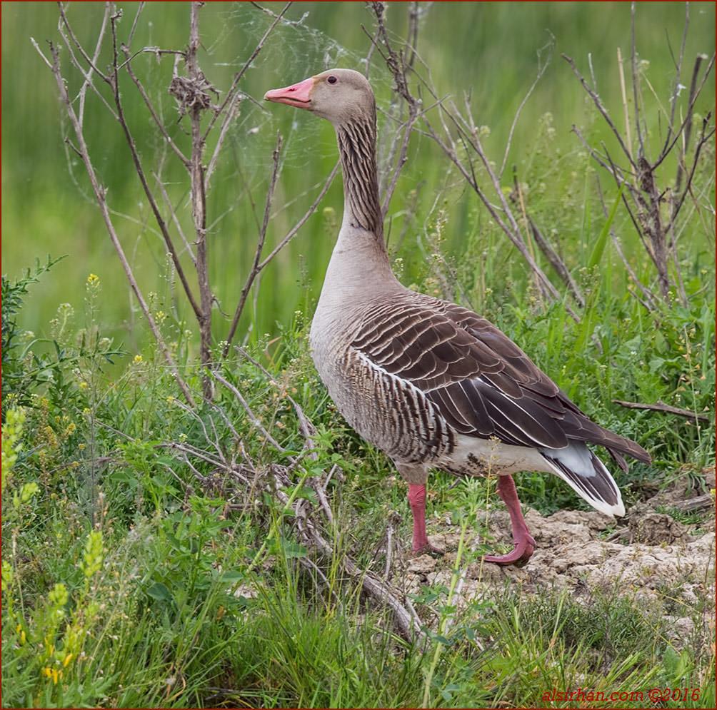 Eastern Greylag Goose Anser anser rubrirostris