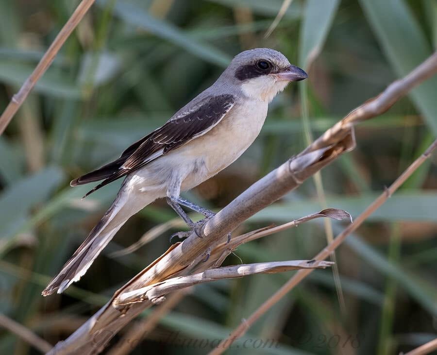 Lesser Grey Shrike Lanius minor