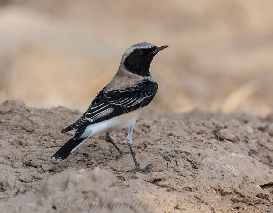 Eastern Black-eared Wheatear Oenanthe (hispanica) melanoleuca