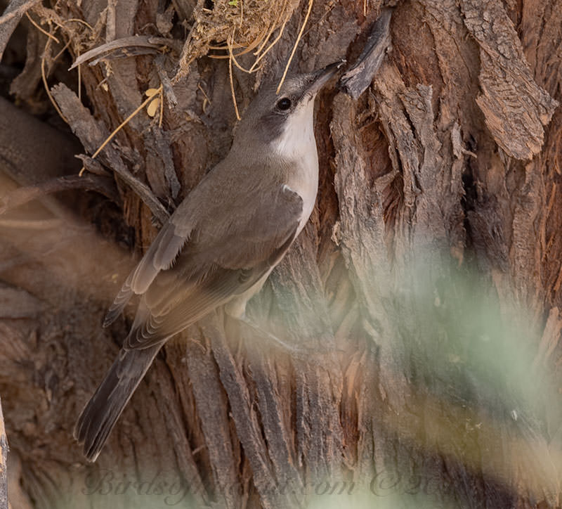 Hume's Whitethroat Sylvia althaea