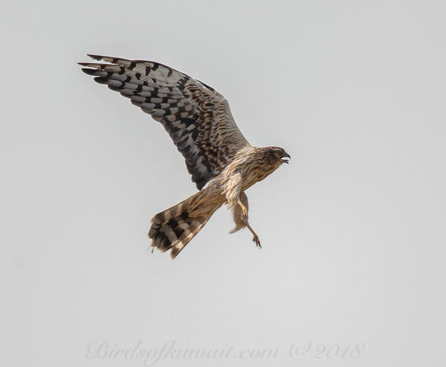 Montagu's HarrierCircus pygargus