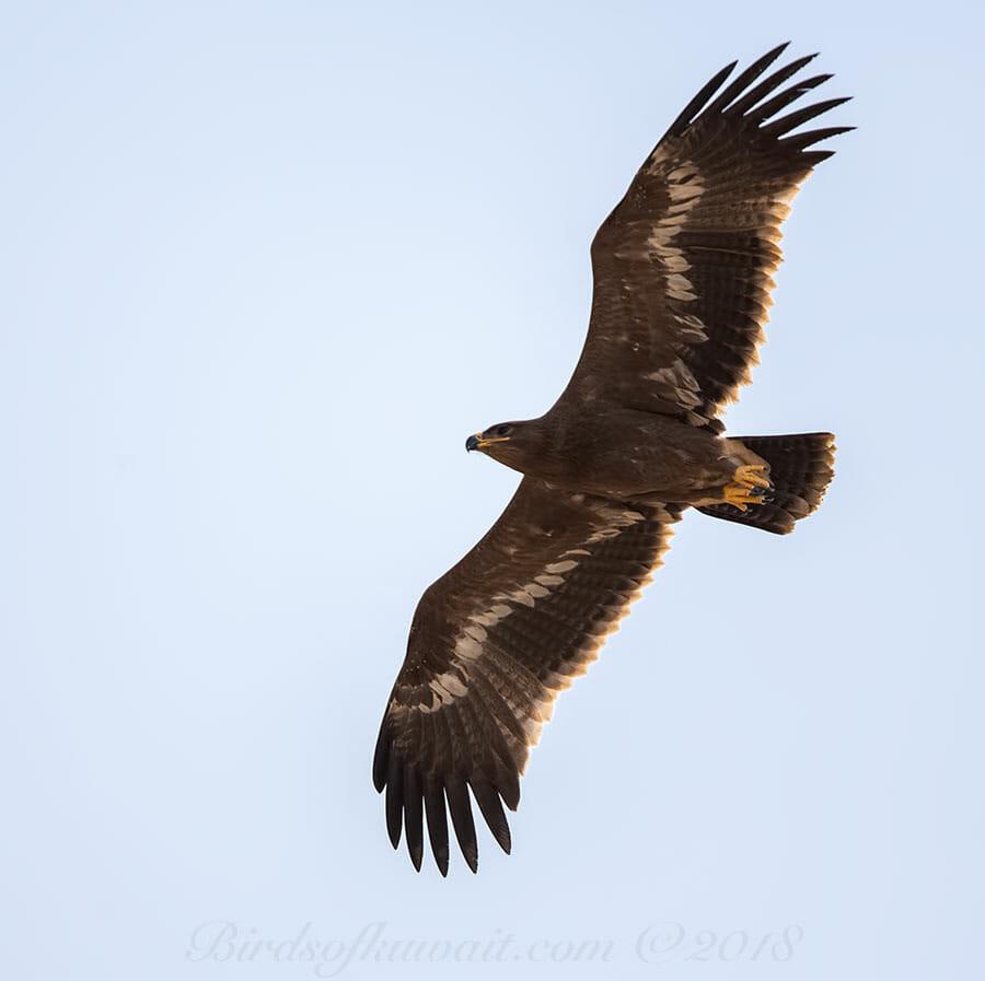 Steppe EagleAquila nipalensis