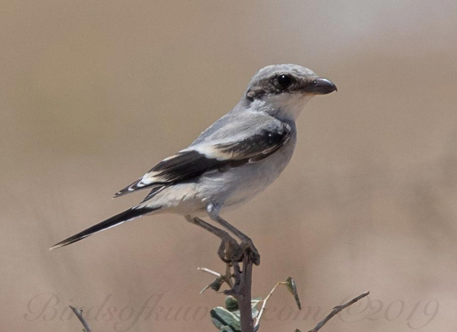 Juvenile Arabian Grey Shrike Lanius excubitor aucheri