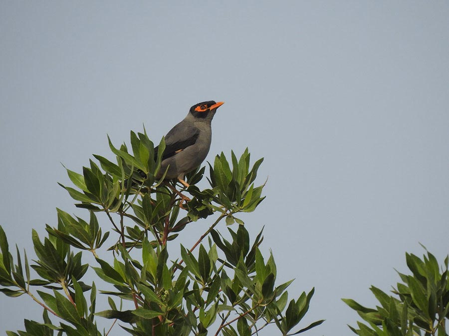 Bank Myna Acridotheres ginginianus