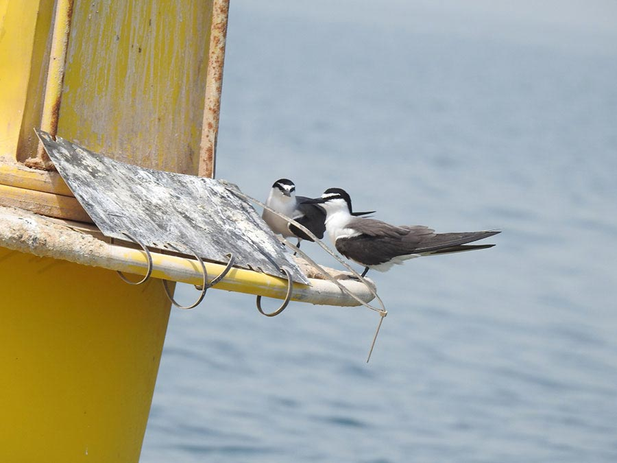 Bridled Tern Onychoprion anaethetus