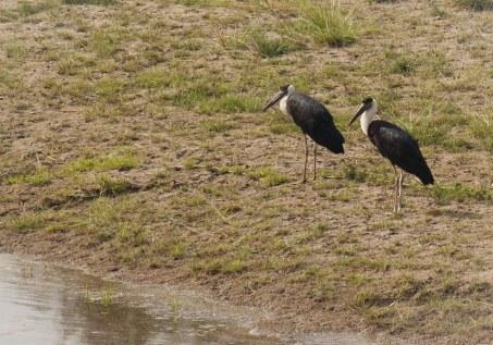 Woolly-necked Stork