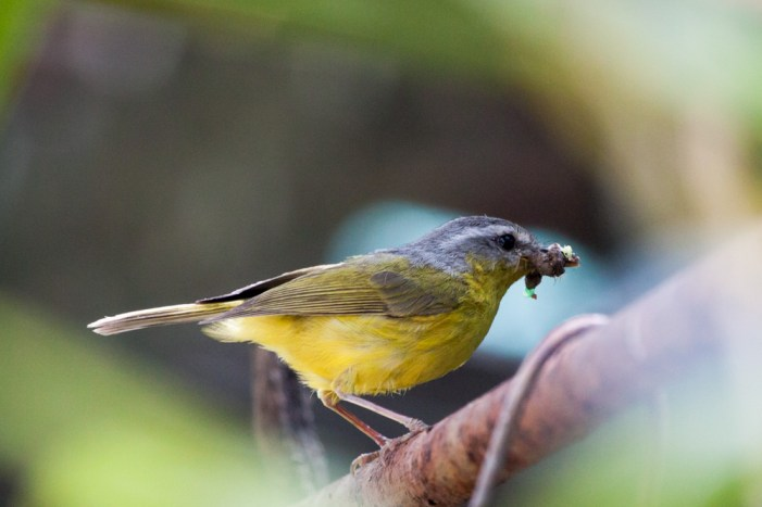 Grey-hooded Warbler