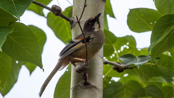 Variegated Laughingthrush