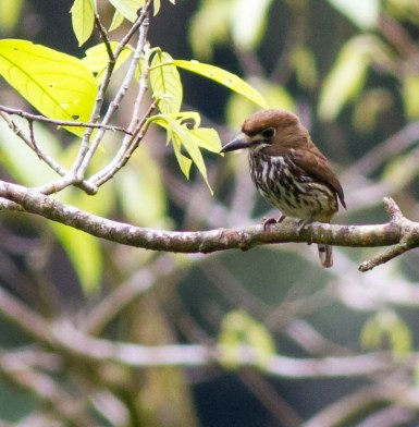 Lanceolated Monklet, Fortunate Waterfall