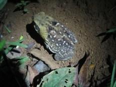 Marine Toad from El Zota, Costa Rica
