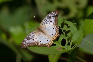 Unknown butterfly from Nicaragua