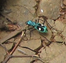 Unknown beetle. Photo taken along the road to Manuel Brenes reserve in Costa Rica