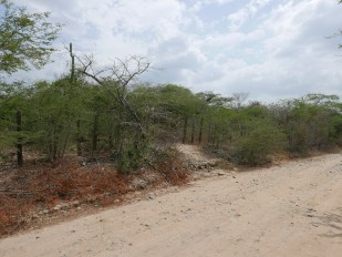 Thorn scrub along the Cari Cari Road in the Guajira