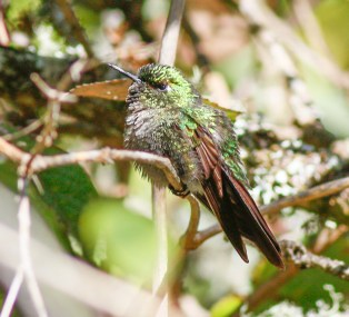 This perched bird shows a larger tail and a chestnut tone to the folded tail, we identified it as a male Perijá Metaltail.