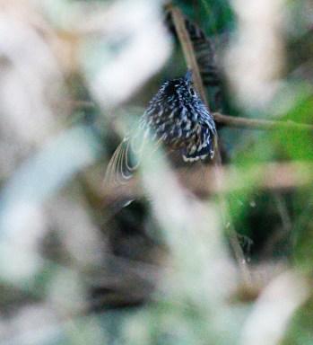 Klages's Antbird
