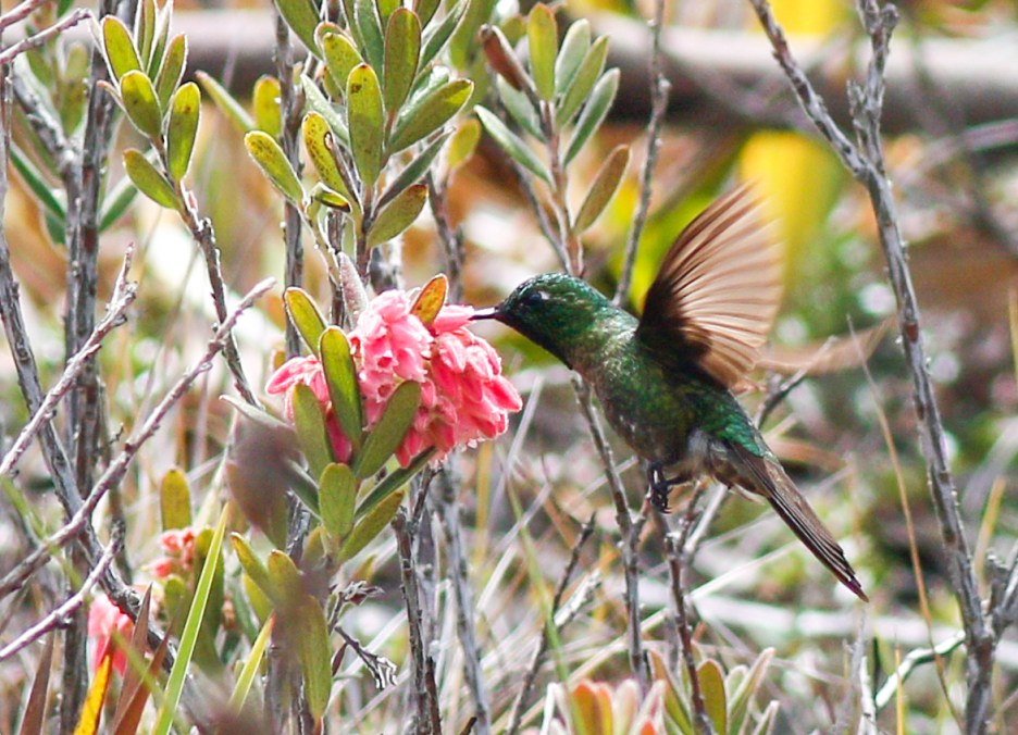 A final view of the same bird, tail color again pointing at this male as a Perijá Metaltail.
