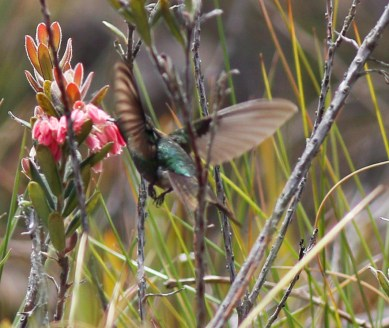 The same bird again - a male Perijá Metaltail - showing tail size and color.
