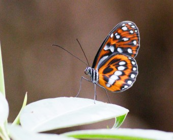 Unknown butterfly at the Cerulean Warbler Reserve