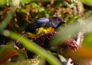 Black-and-Gold Tanager (Bangsia melanochlamys)