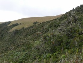 Elfin forest on Cerro Mongus