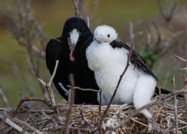 Great Frigatebird with chick
