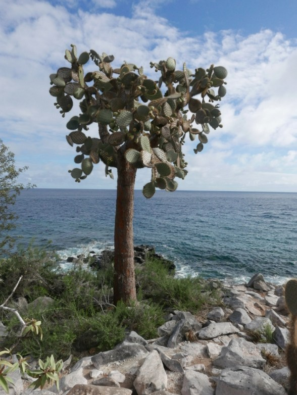 Giant Prickly Pear Cactus on Santa Fe Island