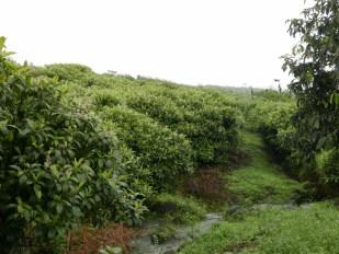 Miconia Forest on Santa Cruz