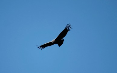 Andean Condor Photo Stephan Lorenz