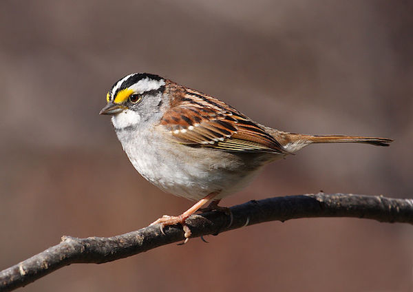 The White Throated Sparrow Is One Of Many Kentucky Birds Youll Find In