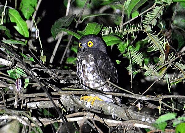 Malaysia Boobook Owl