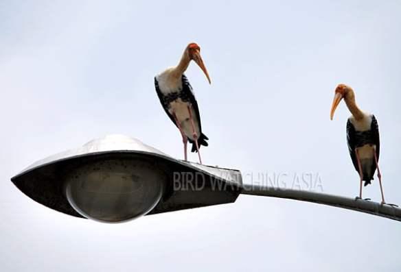Malaysia Birding Festivals