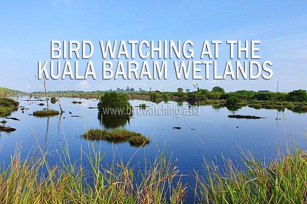 Bird Watching at Kuala Baram Wetlands