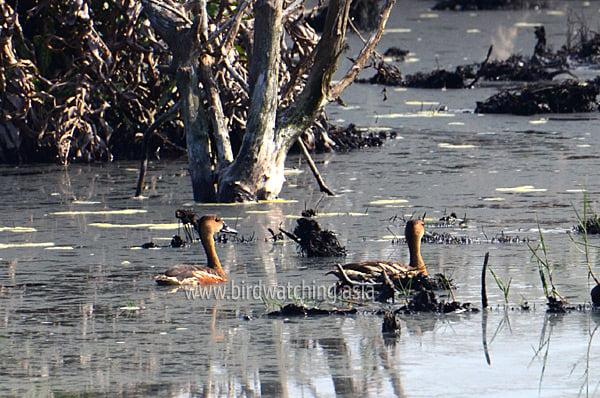 Wandering Whistling Ducks Miri