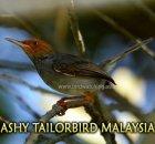 Malaysia Ashy Tailorbird