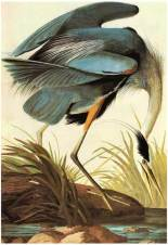 Audubon Prints as Bird Gifts