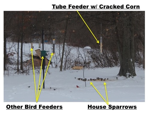 how to Deter House Sparrows with Cracked Corn