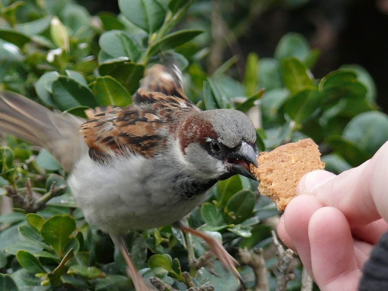 what is the diet of sparrows