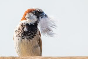 preventing house sparrows by removing nest locations