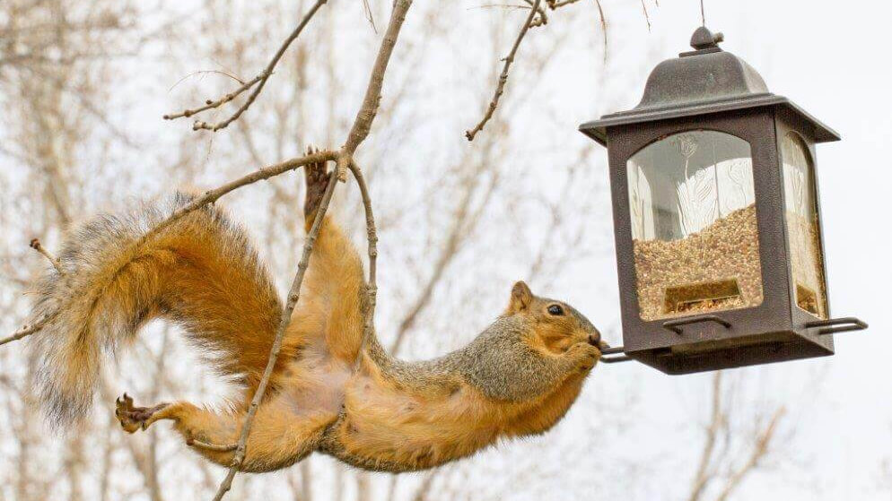 squirrel-hanging-from-feeder-1-203302187
