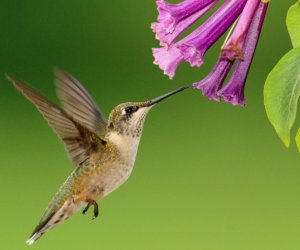 28 Common Flowers That Attract Hummingbirds (Native, Easy To Grow)
