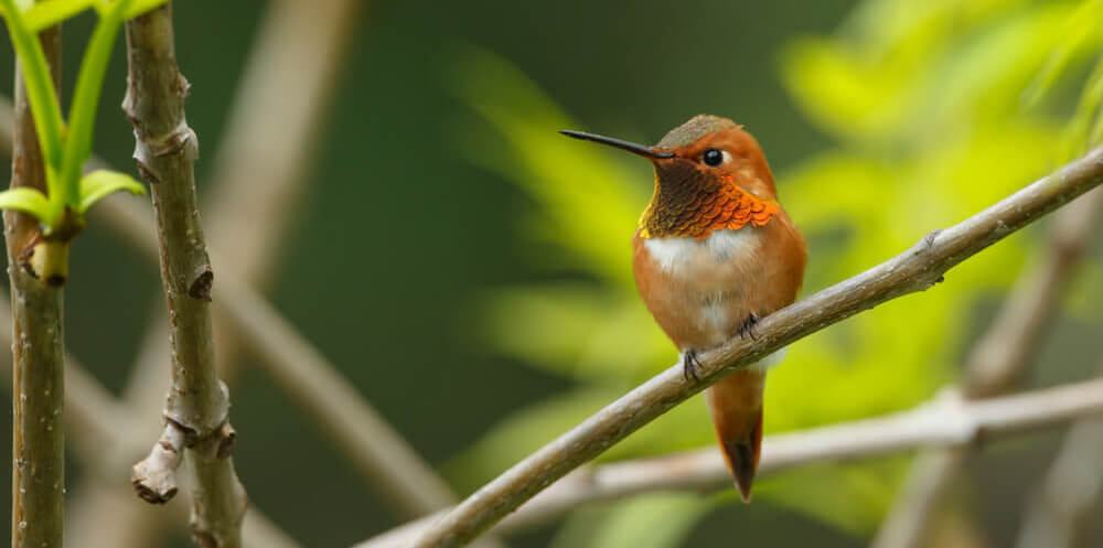 annas hummingbird resting on tree