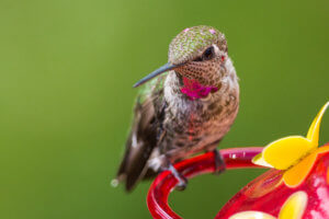 Hummingbird Nectar Recipe and Food Guide