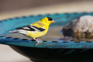 classic bird baths with goldfinch