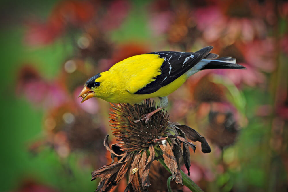 attracting birds finches with native plants