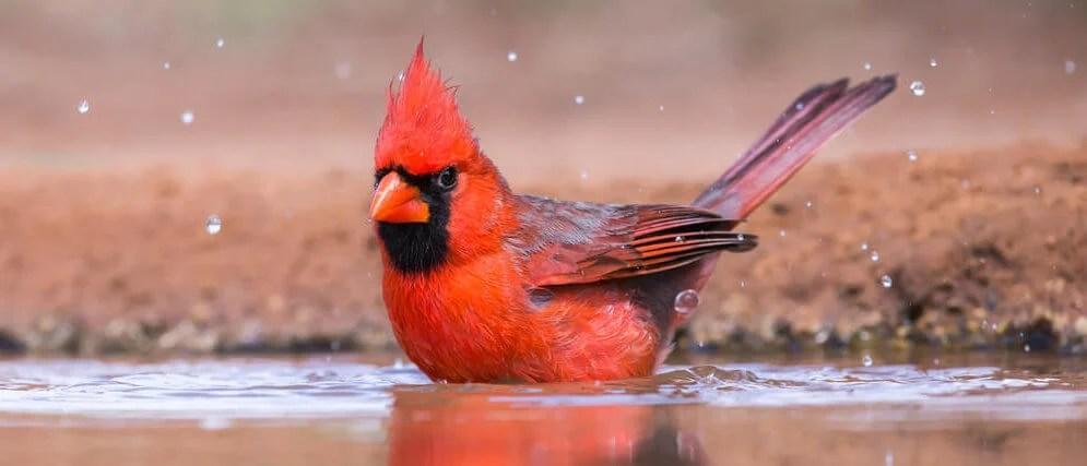 attract cardinals with birdbath