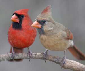 4 Simple Strategies To Attract Cardinals To Your Feeders! (2021)