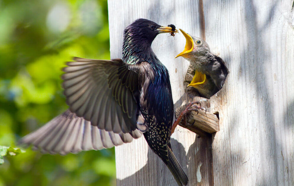 get rid of starlings from nestboxes